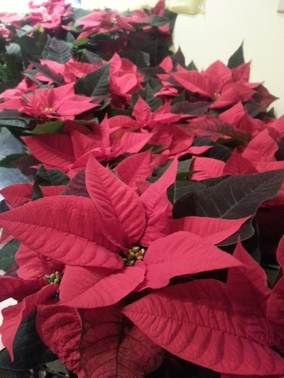 "6"" Poinsettias"