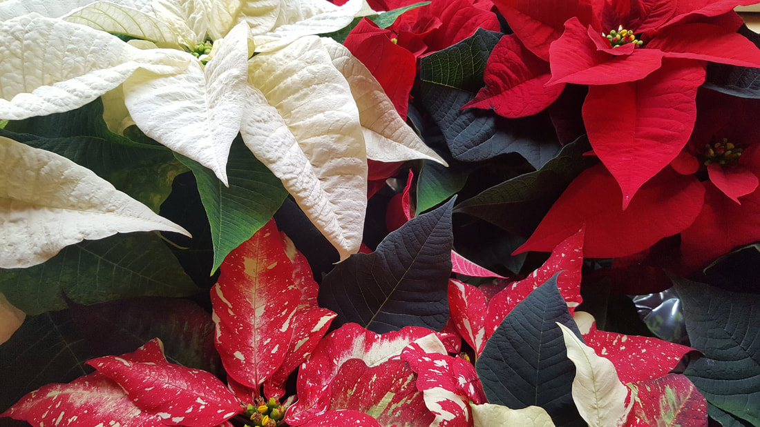"12"" Poinsettias"
