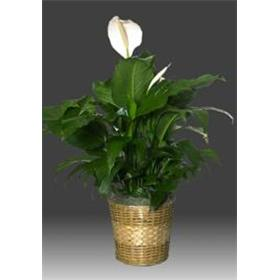 "Peace Lily- 6"" Diameter Pot"