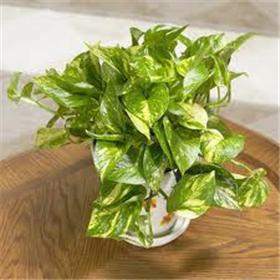 "Pothos- 10"" Diameter Pot"
