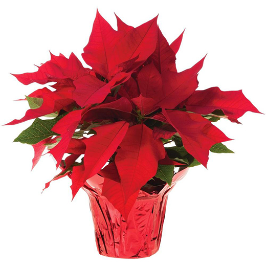 "Poinsettia - 6"" Pot"